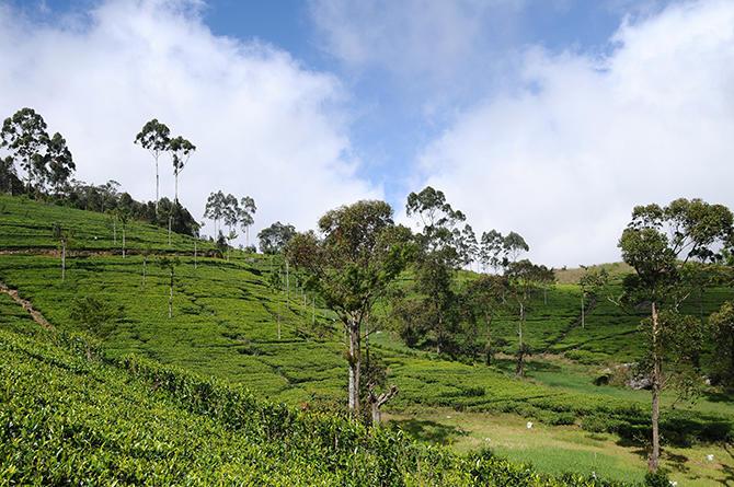 Tea plantation around Lipton´s seat