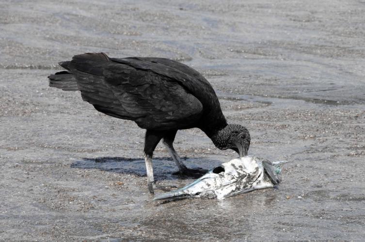 Vulture enjoying a fishhead