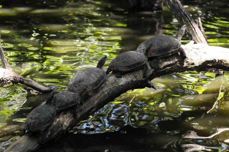 Turtles queueing up