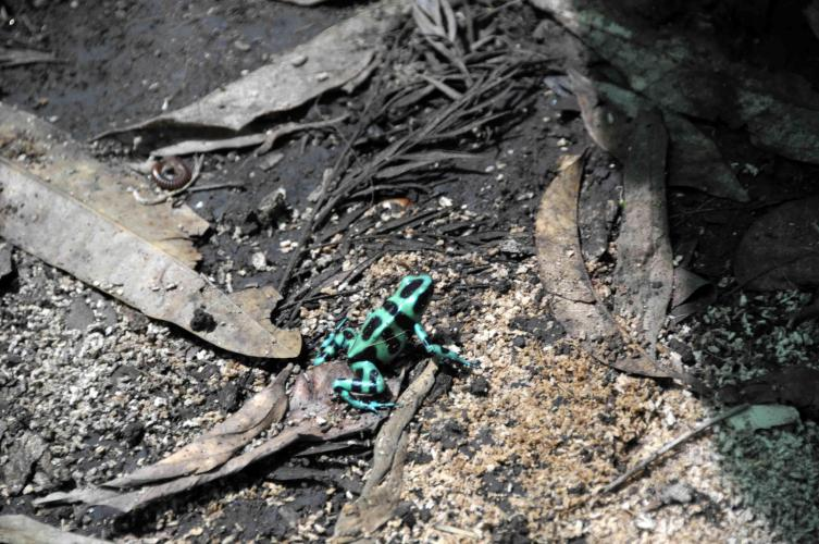 (Dendrobates auratus) The black and green poison-dart frog