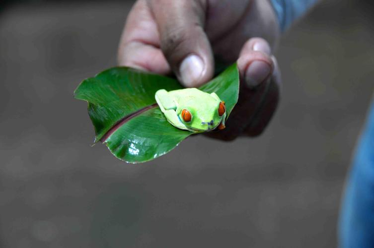 Male Red-eyed Tree Frog