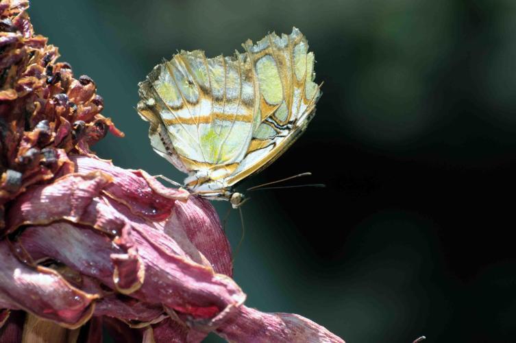 Butterfly soaking nectar