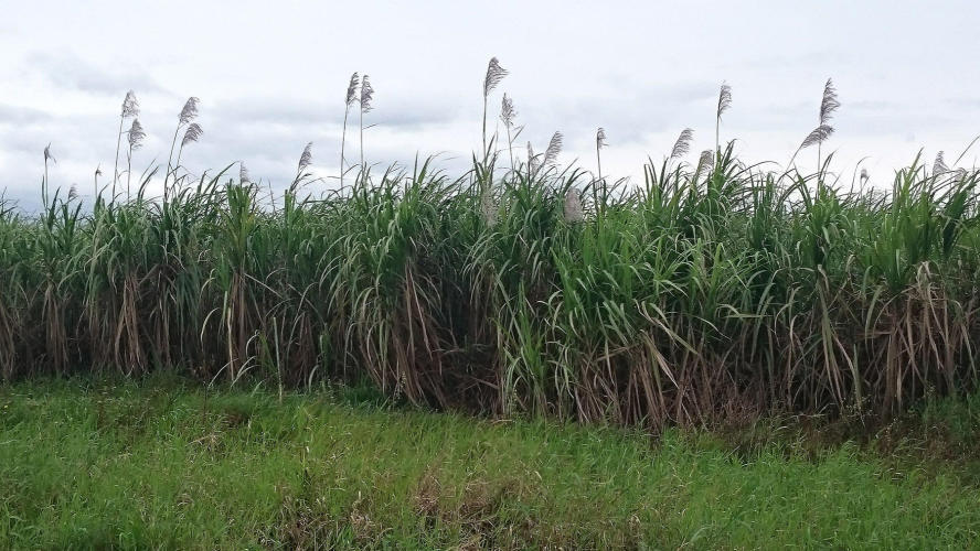 Sugar can plantation looking like white feather pampas grass