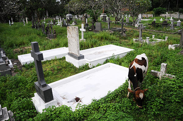 Cow taking care of the cemetery
