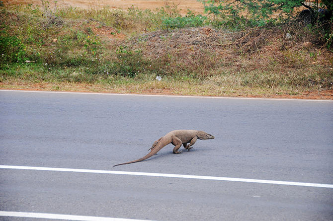 Waran crossing the road