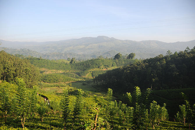 Tea fields along the road