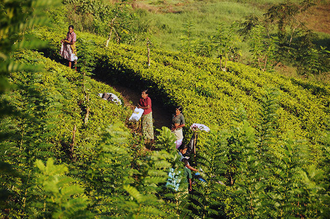 Hard work-picking tea