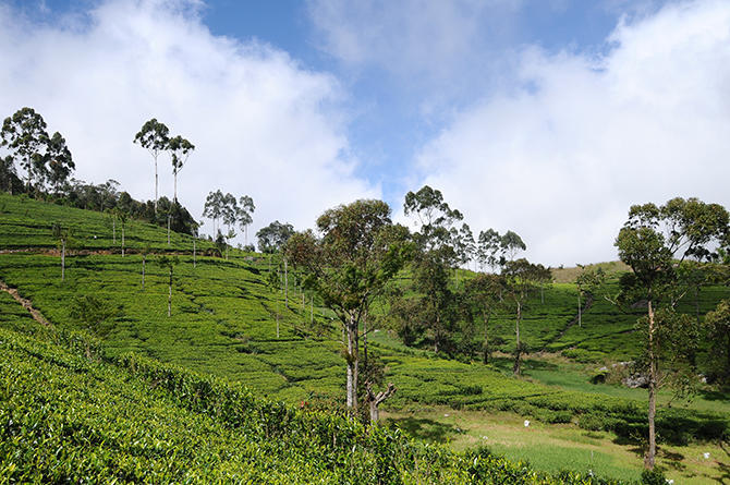 Tea plantation around Lipton´s seat