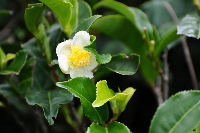 Blooming tea plant