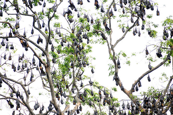 Tree full of bats