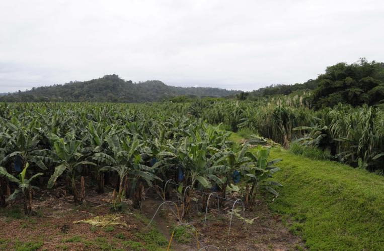 Bananas plantation