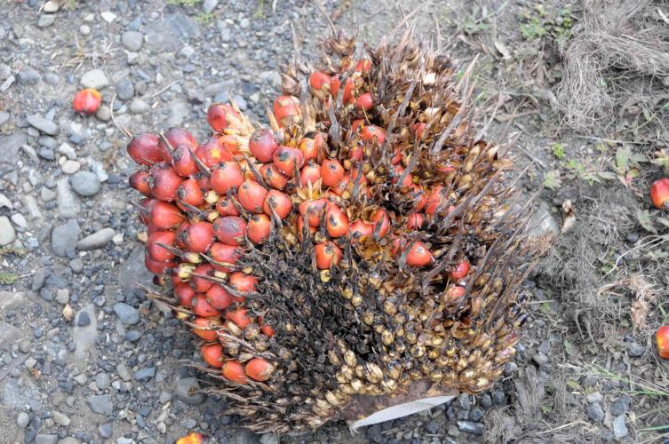 African palm fruit