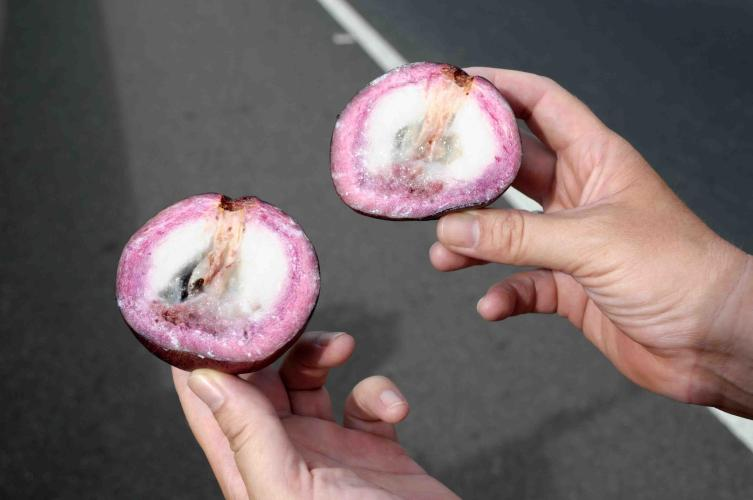 "Tasty fruit called ""Caimito"""