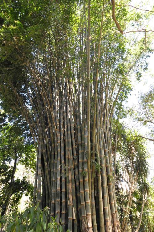 Big bamboo
