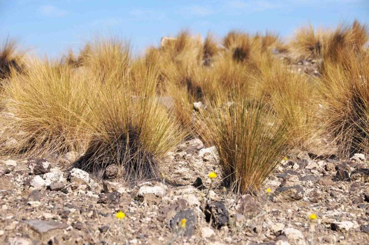 Typical Patagonian grass