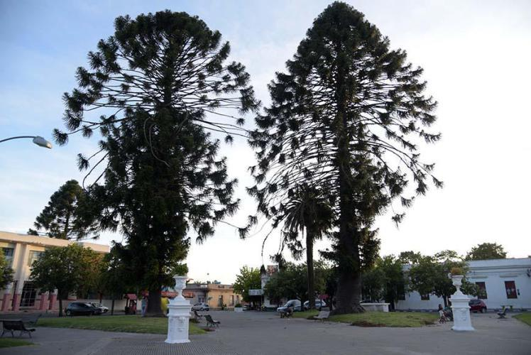 Huge trees on the main square