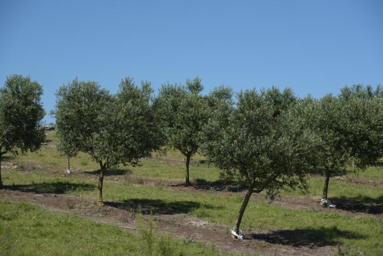 Olives tree plantation