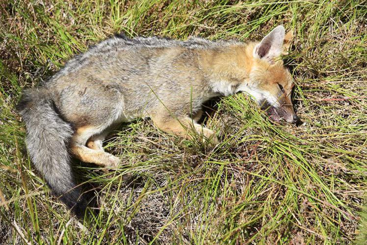 Recently died fox