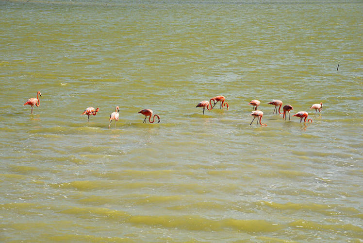 First flamingos