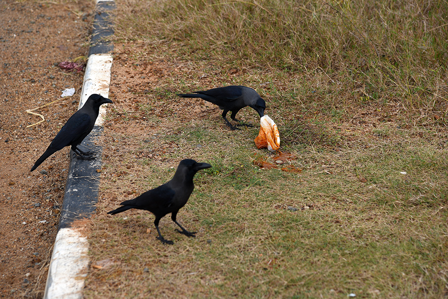 Sharing with the crows