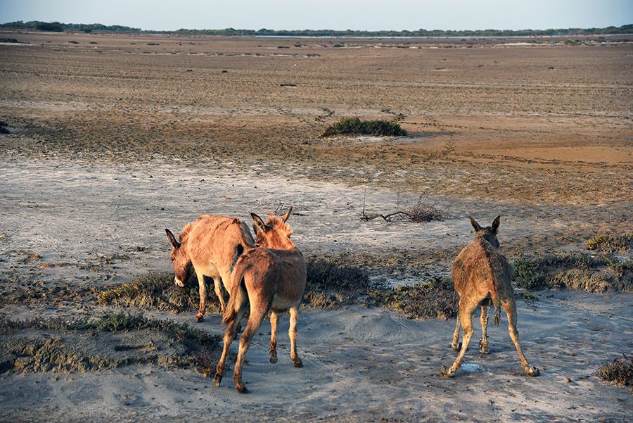 Wilde donkeys