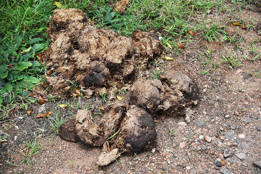 Elephant poop