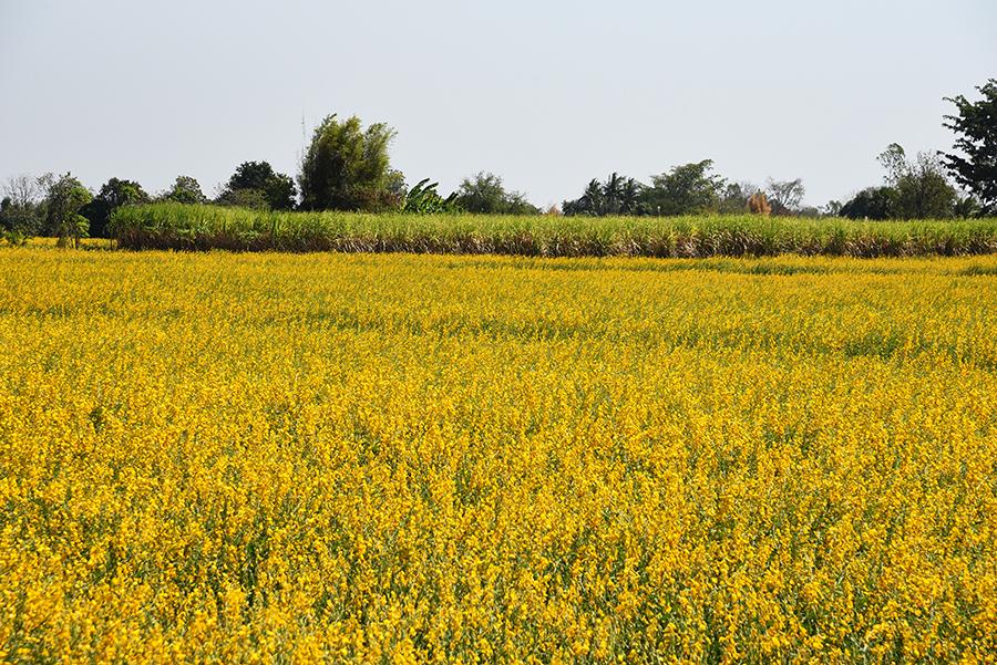 Arnica fields