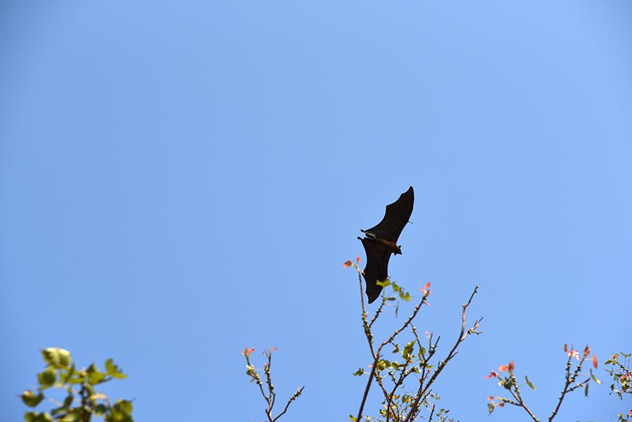 Flying fox (Pteropus vampyrus)