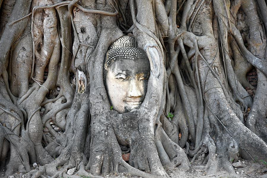 The famous Buddha head at Wat Mahathat