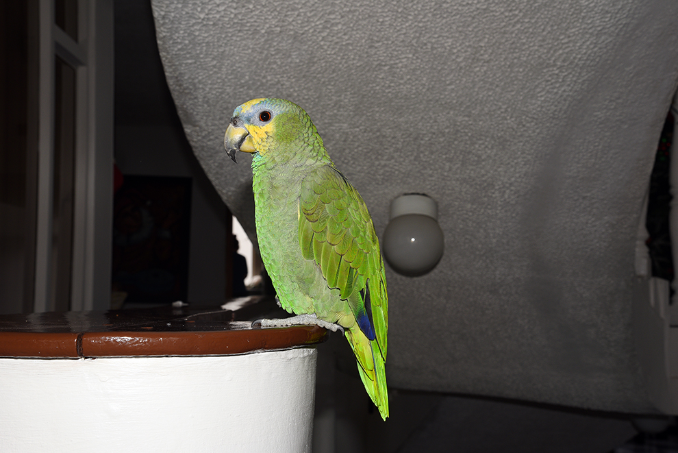 Guesthouse parrot