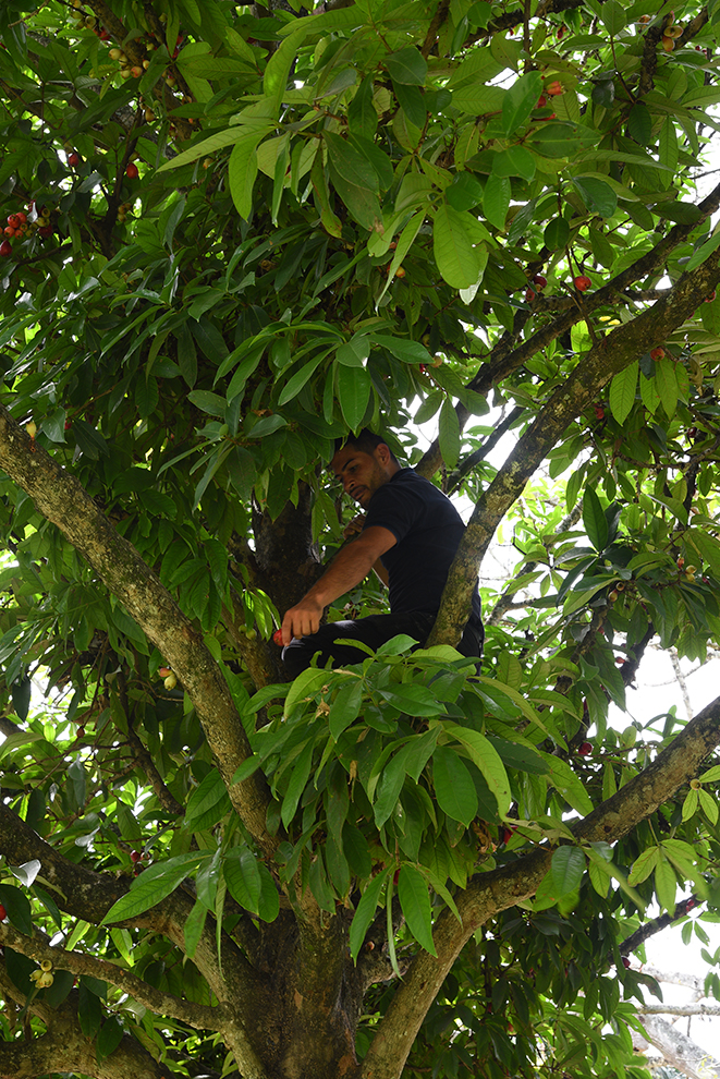 Fernando picking some fruits
