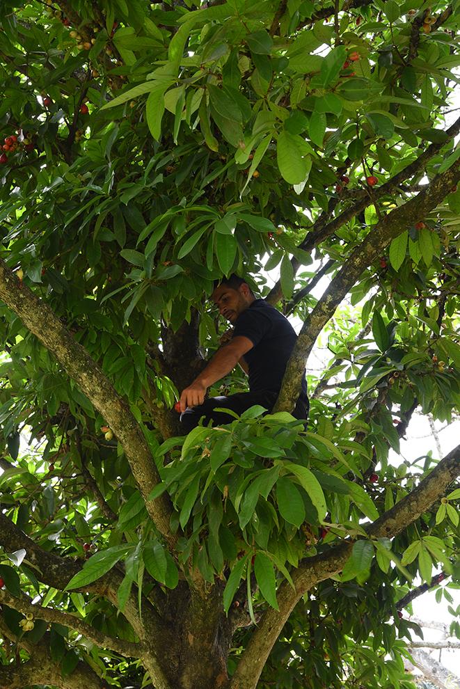 Fernando picking some fruits