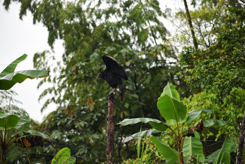 Vulture, Coragyps atratus