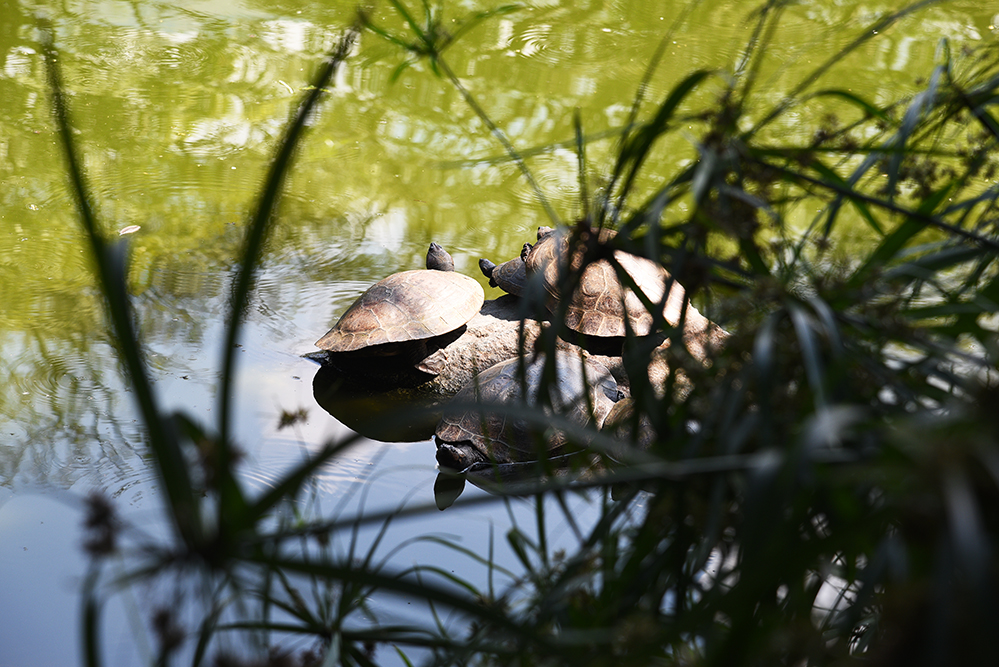 Turtles taking a sunbath