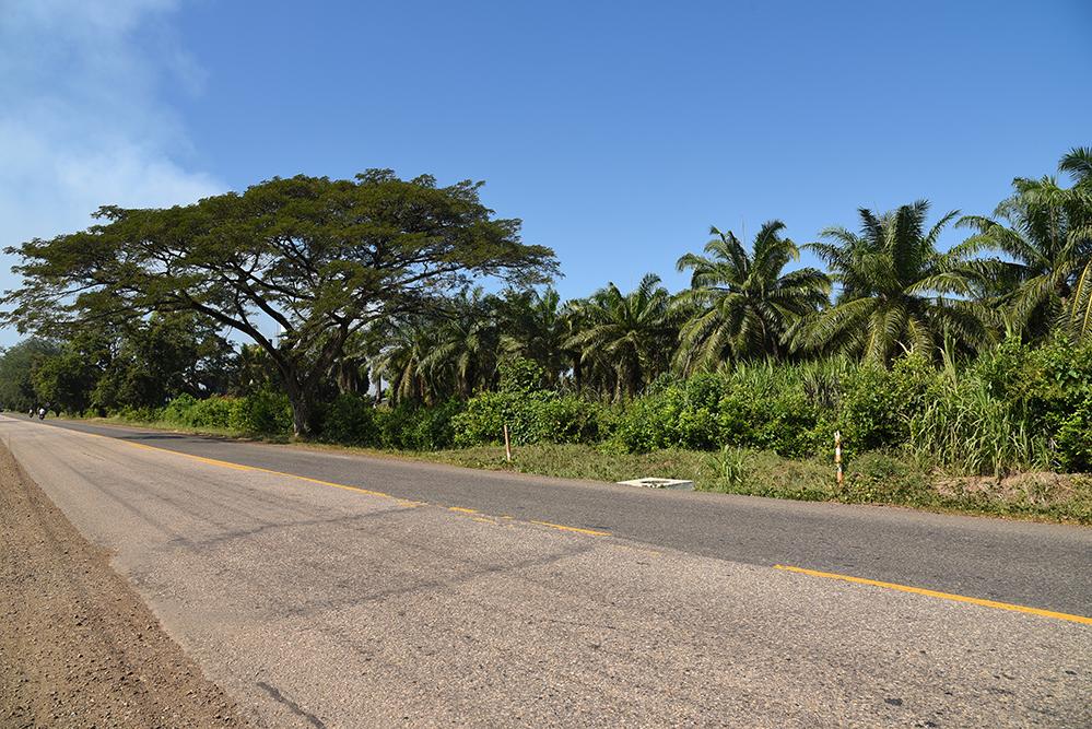 Oil palms, Elaeis guineensis